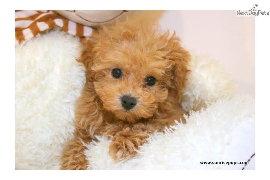 Teacup Jackson Our Male Maltipoo Maltipoo Teacup Maltipoo Cute Little Animals