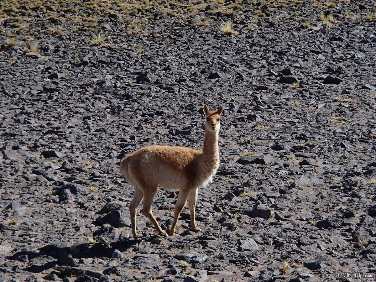 Vicuña, Paso Pircas Negras, Argentina