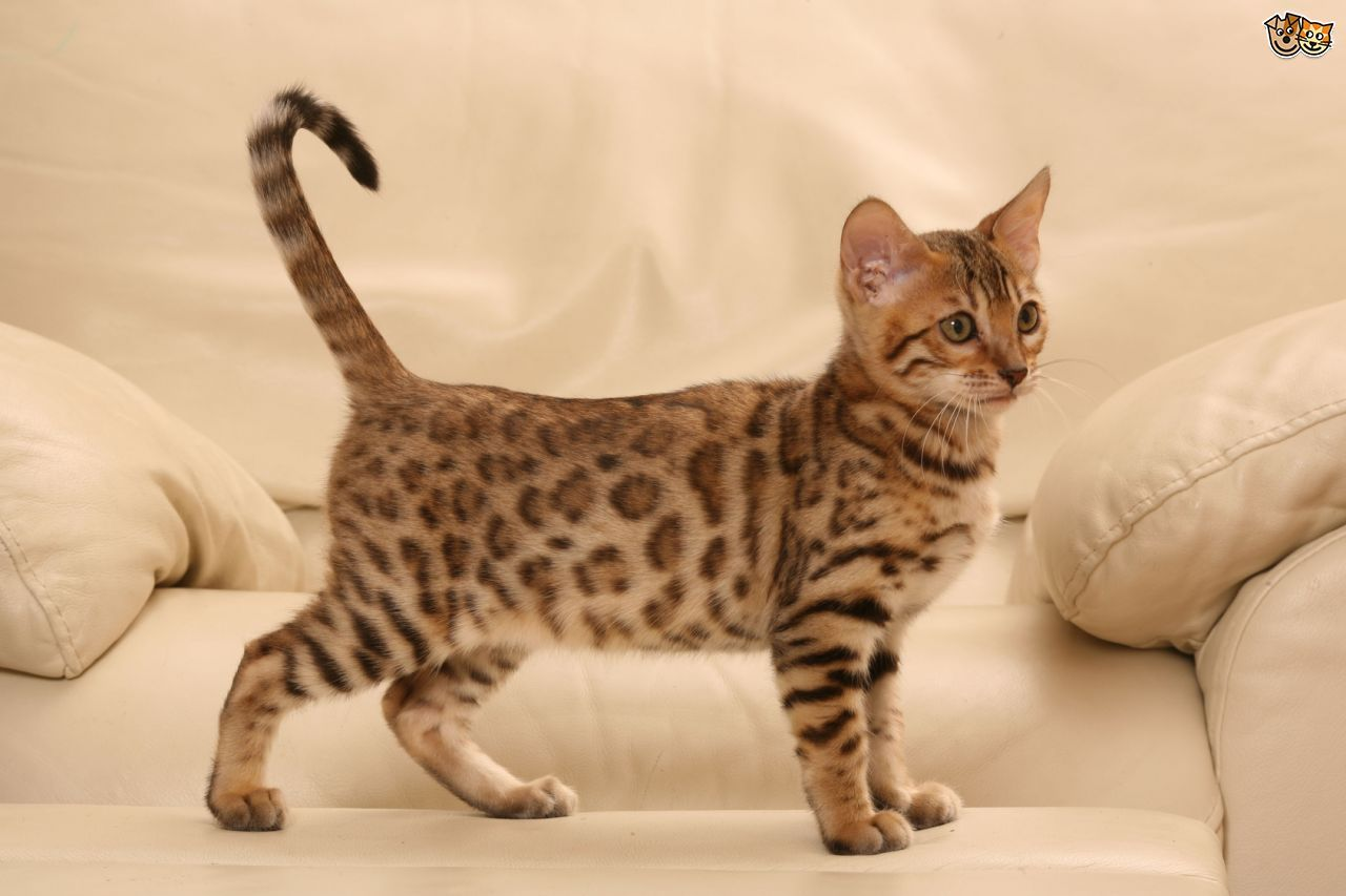 Bengal Cat Hybrid Pet for You About Pet Life