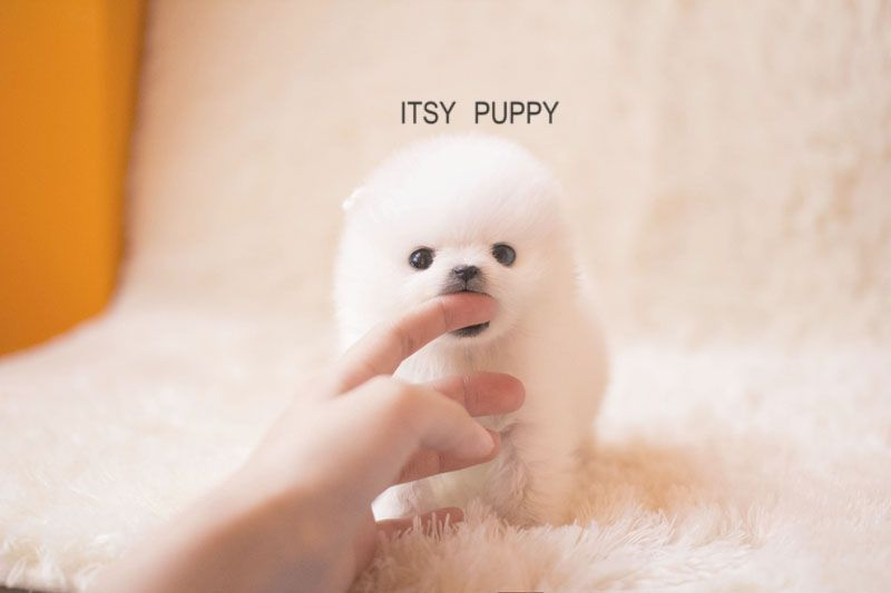 Sold Zoe Female Micro Pom Itsy Puppy Teacup Puppies For Sale In Ca Micro And Teacup Maltese Pom Really Cute Puppies Teacup Puppies Cute Teacup Puppies