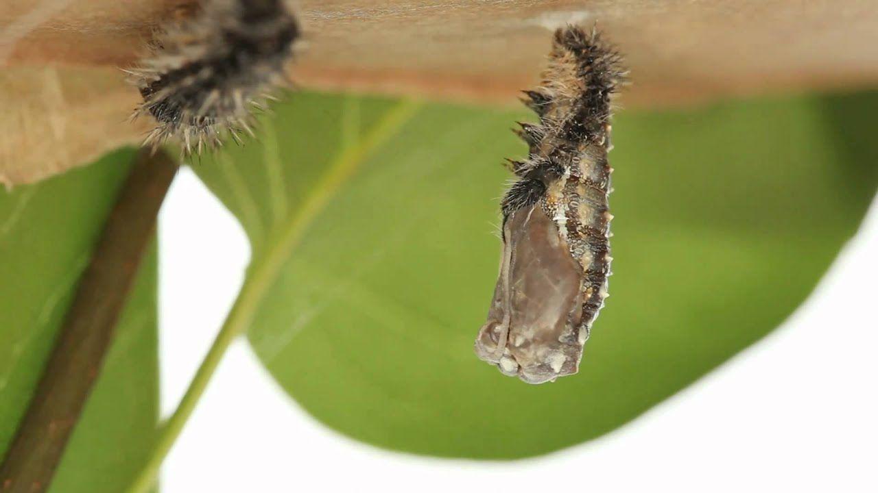 Caterpillar to Chrysalis Caterpillar