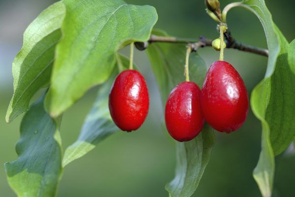 What Dogwood Tree Has Red Berries Dogwood Trees Fruit Hedging