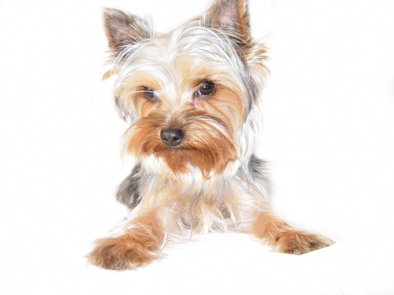 Image Result For How To Draw A Yorkie Yorkies Positivity