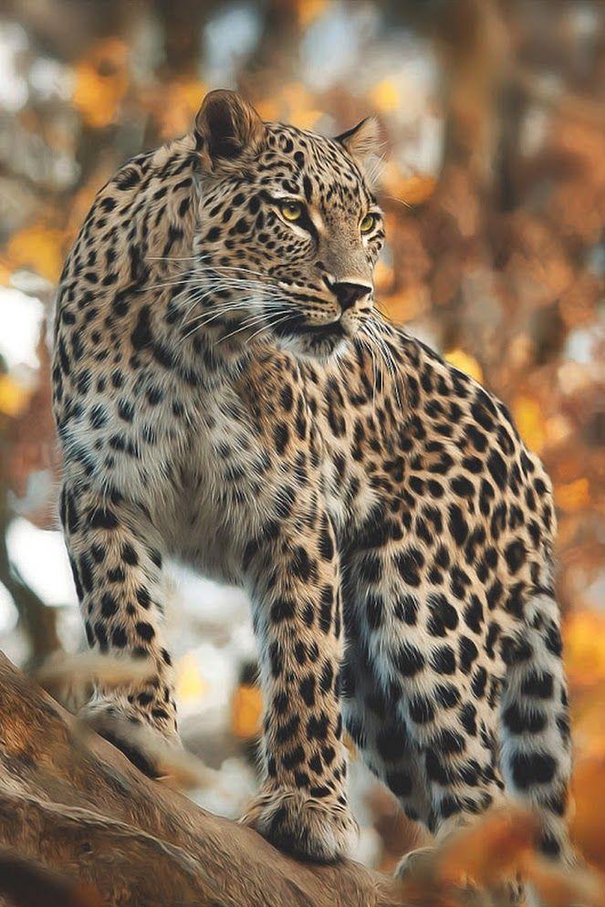 What a beautiful animal! | Z- Felinos Salvajes . | Pinterest ...