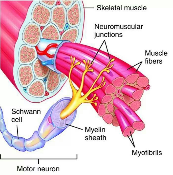 Motor unit | My anatomy And physiology obsession | Pinterest ...