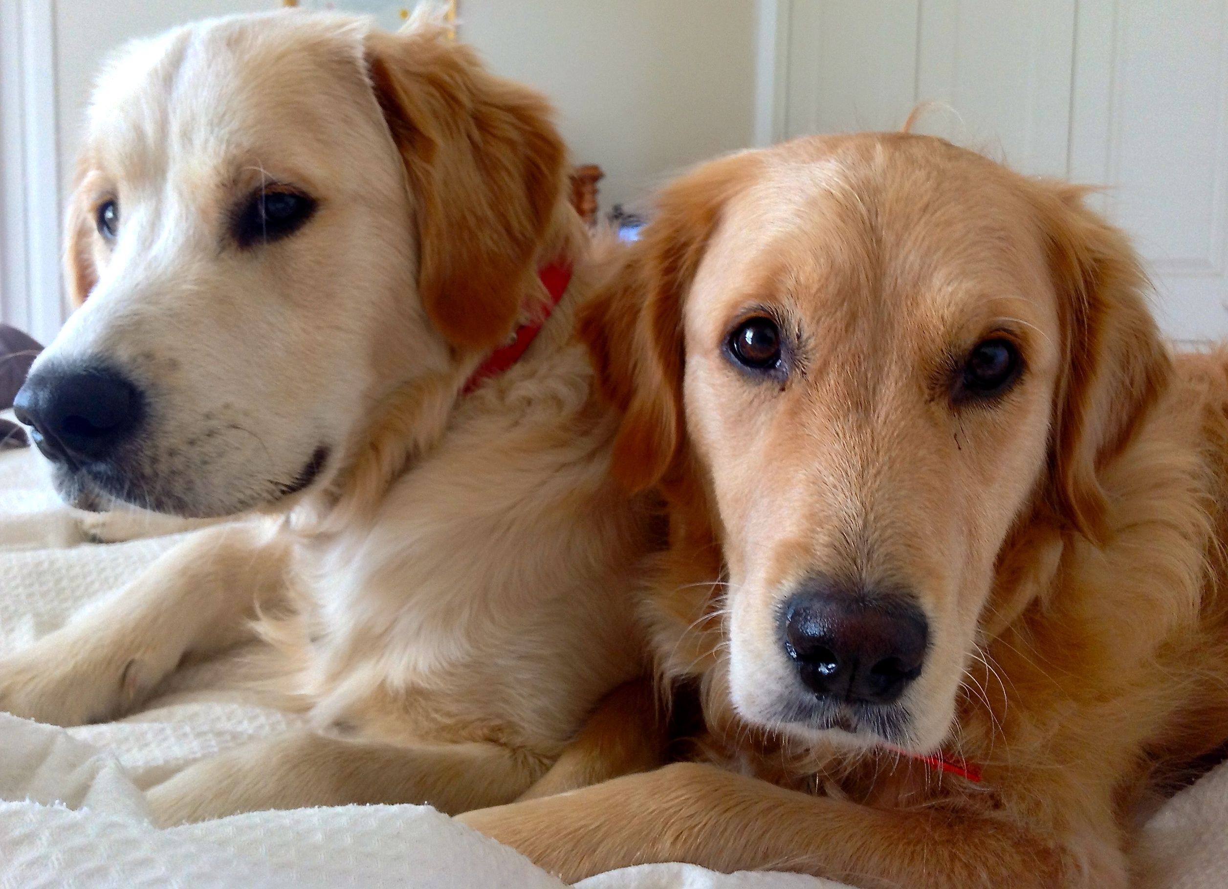 Cooper And Riley Golden Retriever Betty White Disney Up