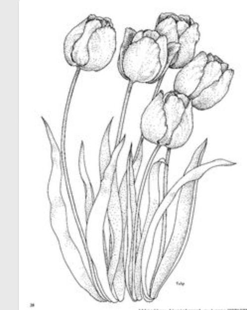 Malvorlage Tulpe Einfach Aglhk