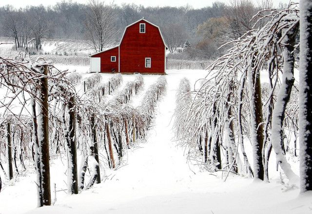Snow covered vinyard overlooking the barn who`s riches within are stored.