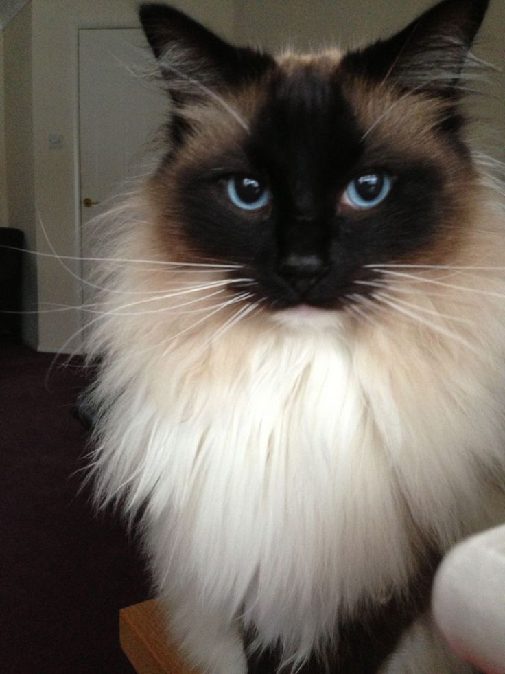 20 liebevollste Katzenrassen der Welt #catbreeds