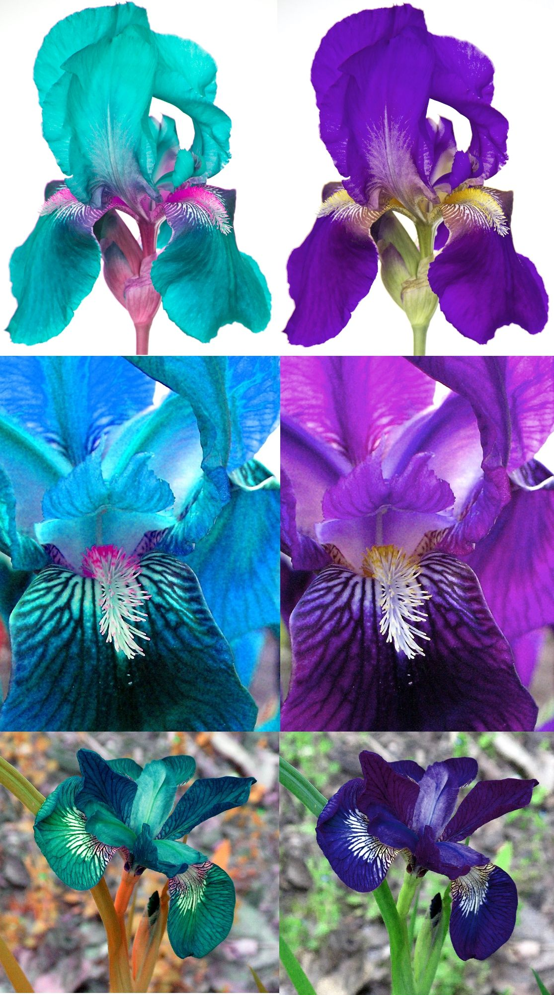 Left Photoshopped Pink And Turquoise Aquamarine Irises Right Real Irises Iris Flowers Iris Dream Garden