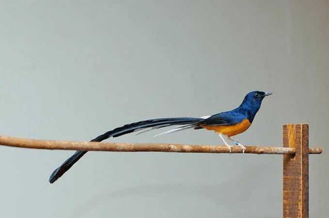Jual Beli Burung Murai Batu Burung Murai Burung Cantik