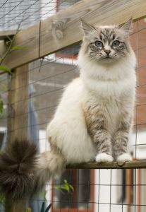 Siberian Cat Siberian Cats Have Been Around For A Long Time With The Earliest Reference To Them Being Made In Siberian Cat Cat Breeds With Pictures Cat Breeds