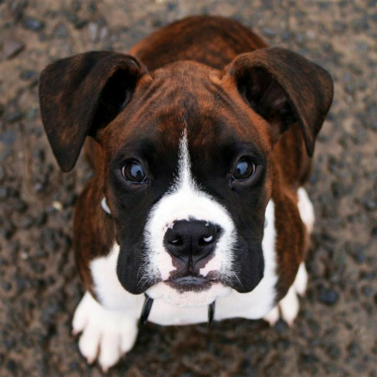 Quiz How Well Do You Know About Boxer Dogs? Hope you're