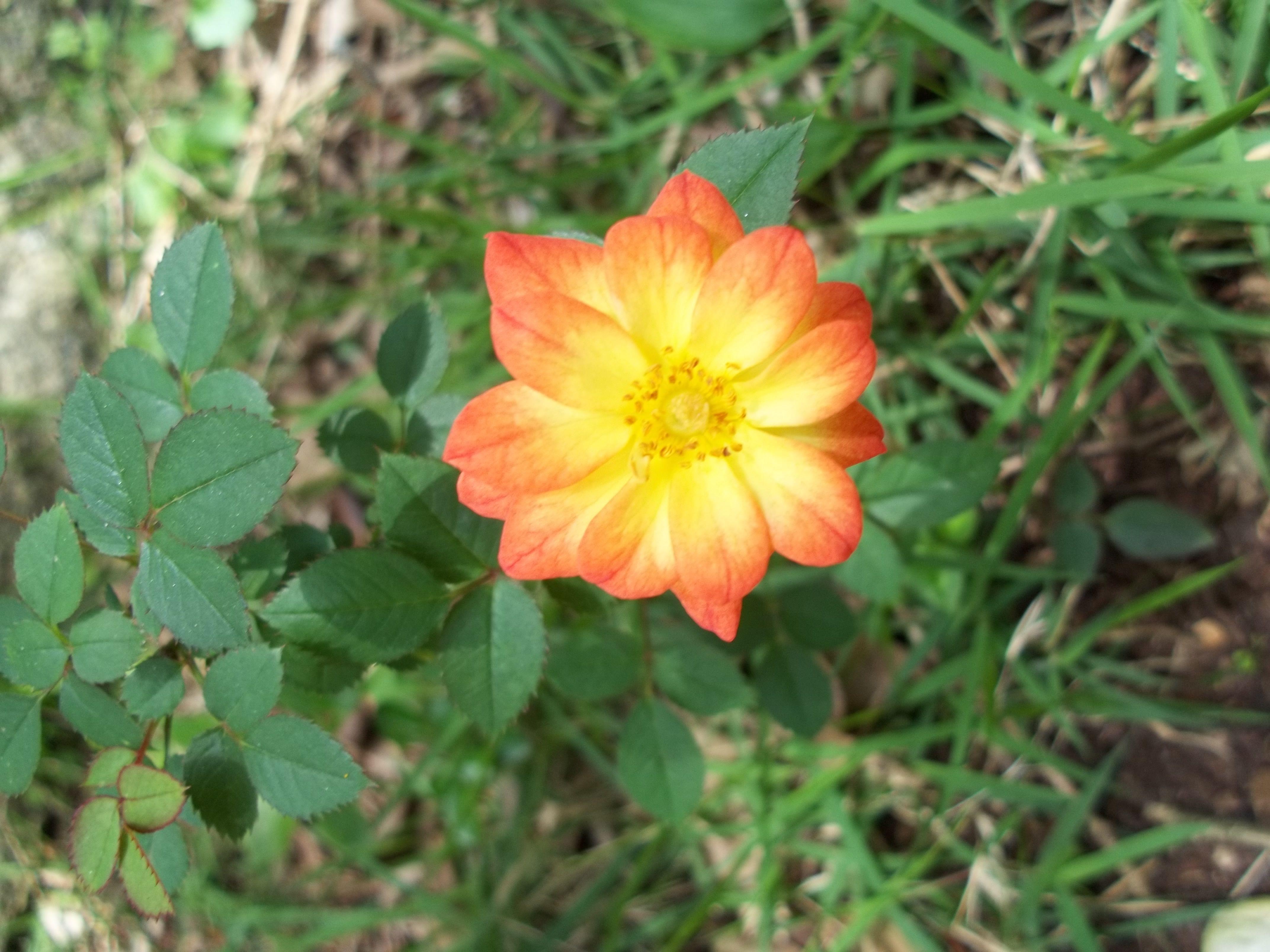 meu jardim, mini rosa amarela