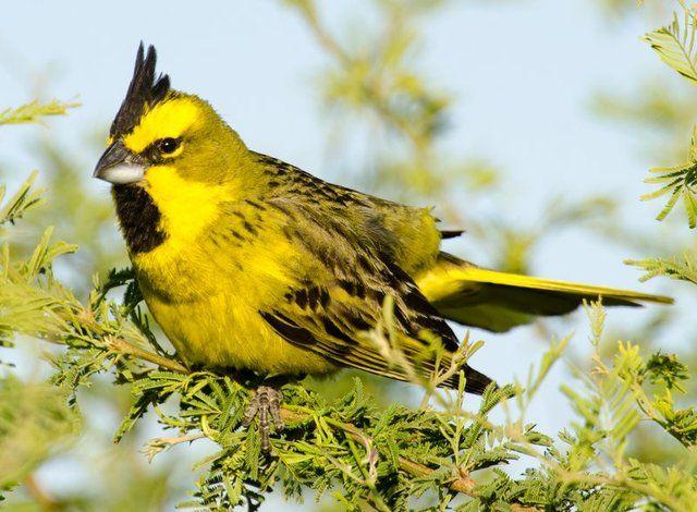 Foto cardeal-amarelo (Gubernatrix cristata) por Alejandro Olmos   Wiki Aves - A Enciclopédia das Aves do Brasil