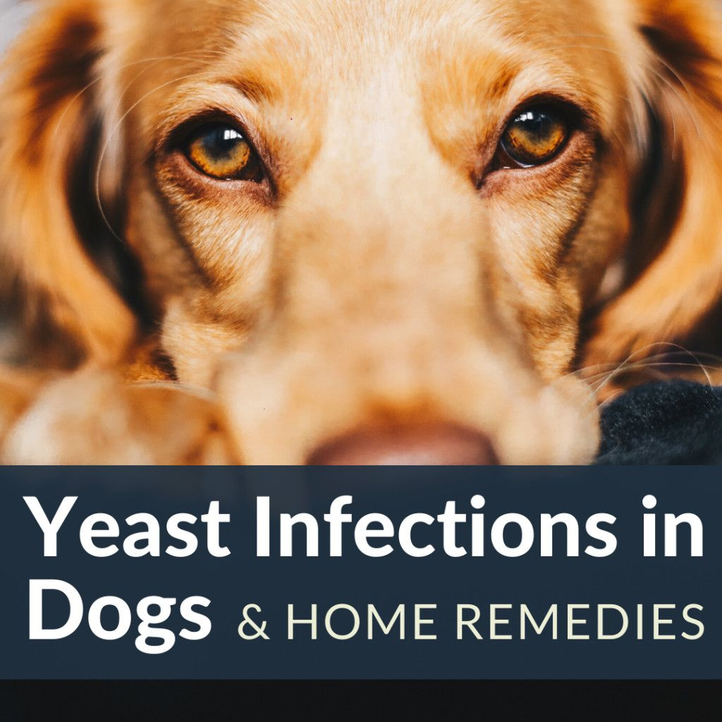 How To Stop Hair Loss And Itching In Dogs From Yeast Overgrowth Dog Itching Dog Yeast Infection Dog Itching Remedies
