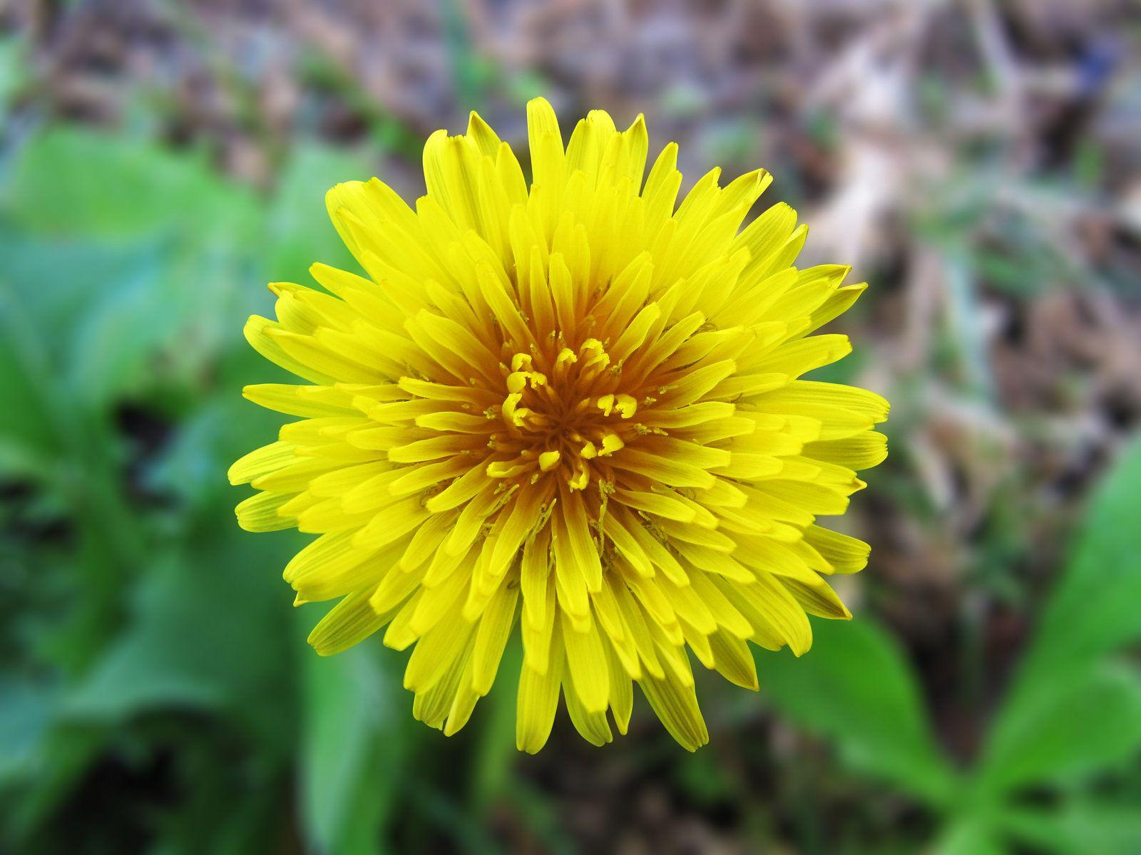 Little yellow grass flower grass flower medicinal herbs