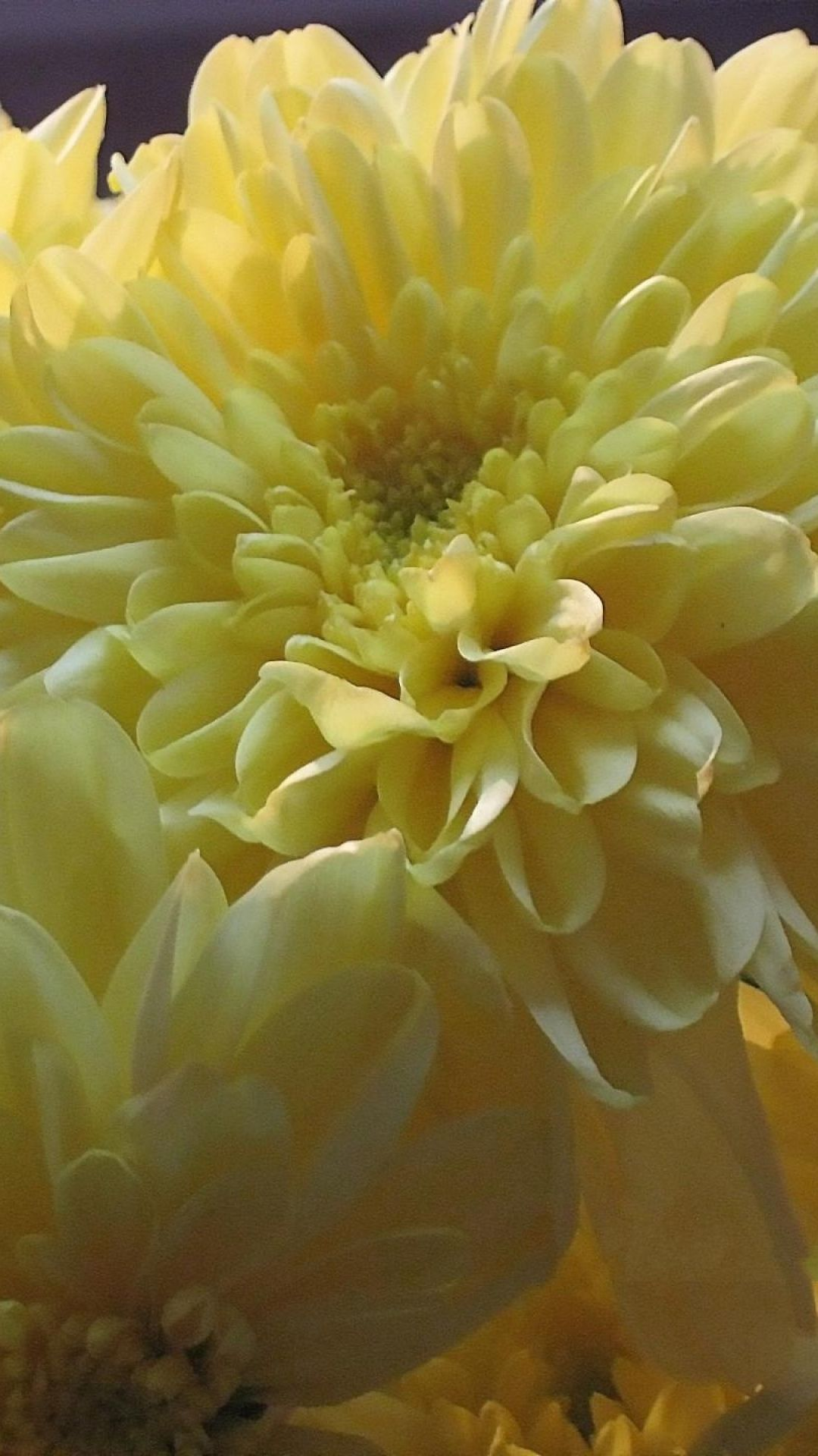 Chrysanthemums Flowers Bouquet Yellow Flores Pinterest