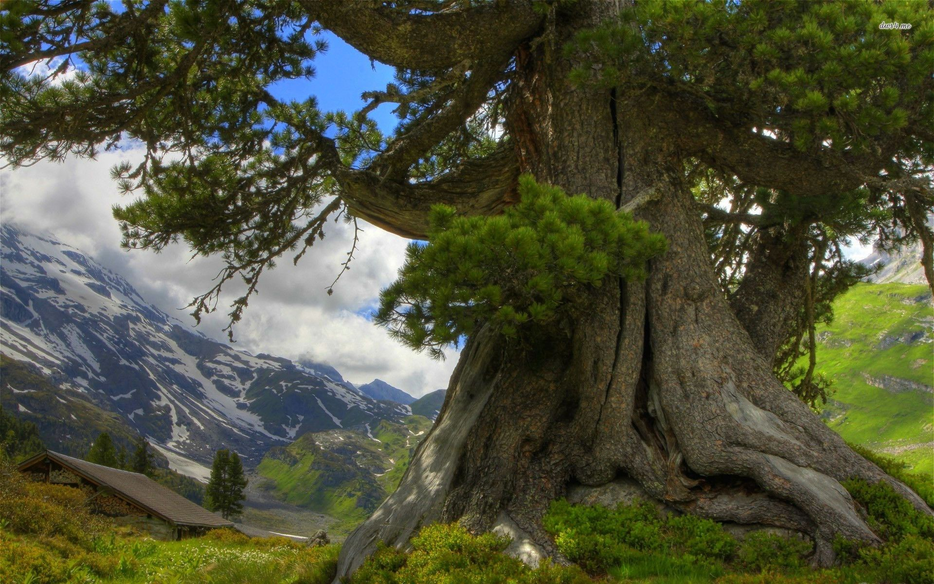 Magnificent Tree In The Mountains Mountain Wallpaper