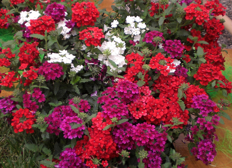 Verbena Bee friendly Gardening Pinterest