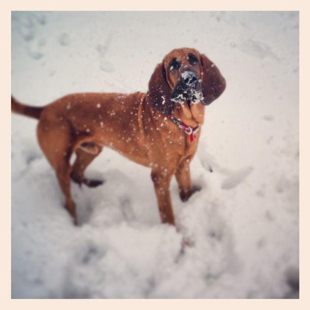 abominal bloodhound