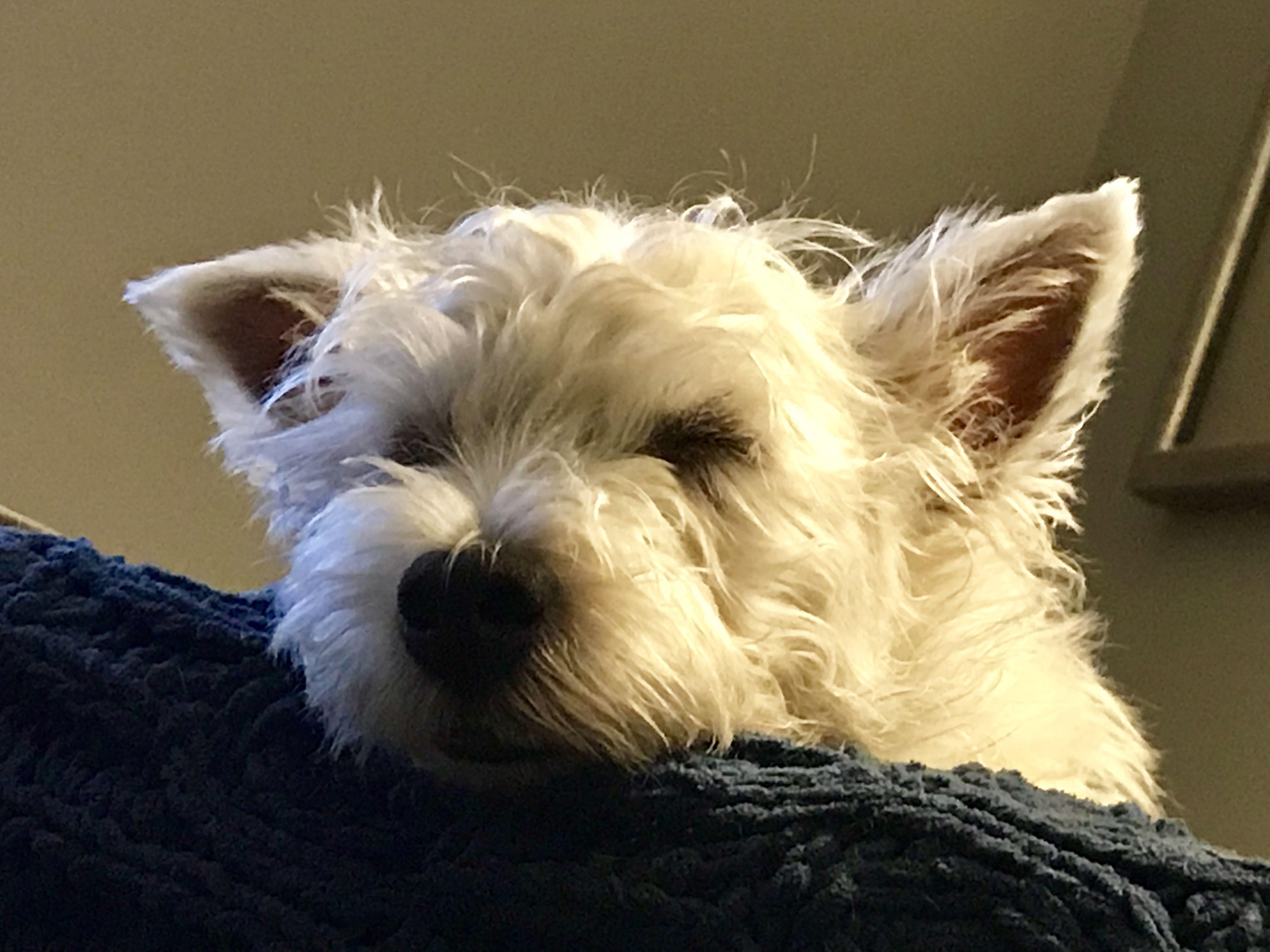 Pin By Bb On My Westie Cute Dogs Scottie Terrier Dogs