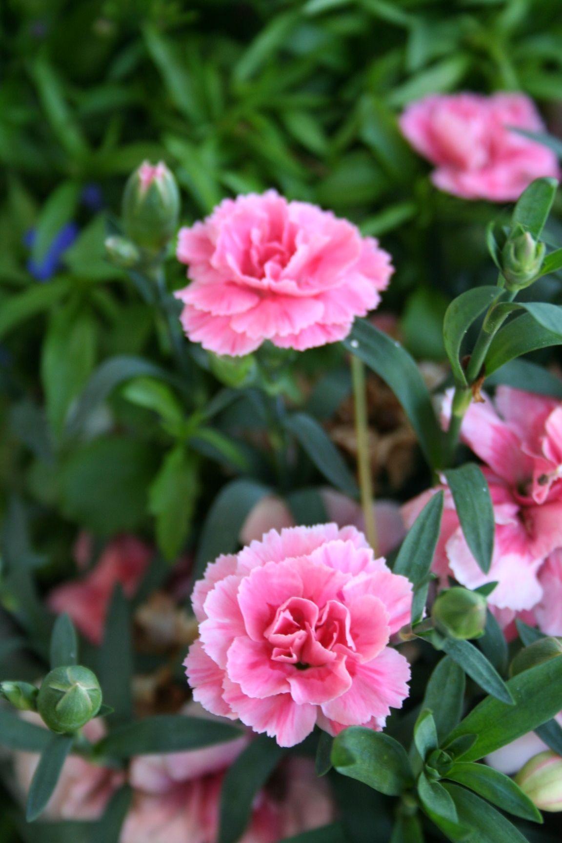 rittersporn, rosa | delphinium | pinterest | rittersporn, rosa und, Gartengerate ideen