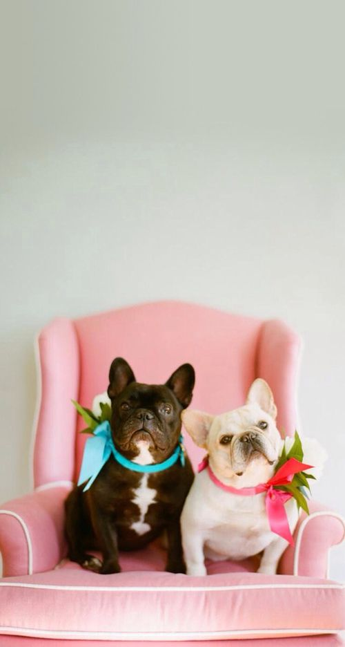 Cute French Bulldogs Bows Pink Iphone Wallpaper Background