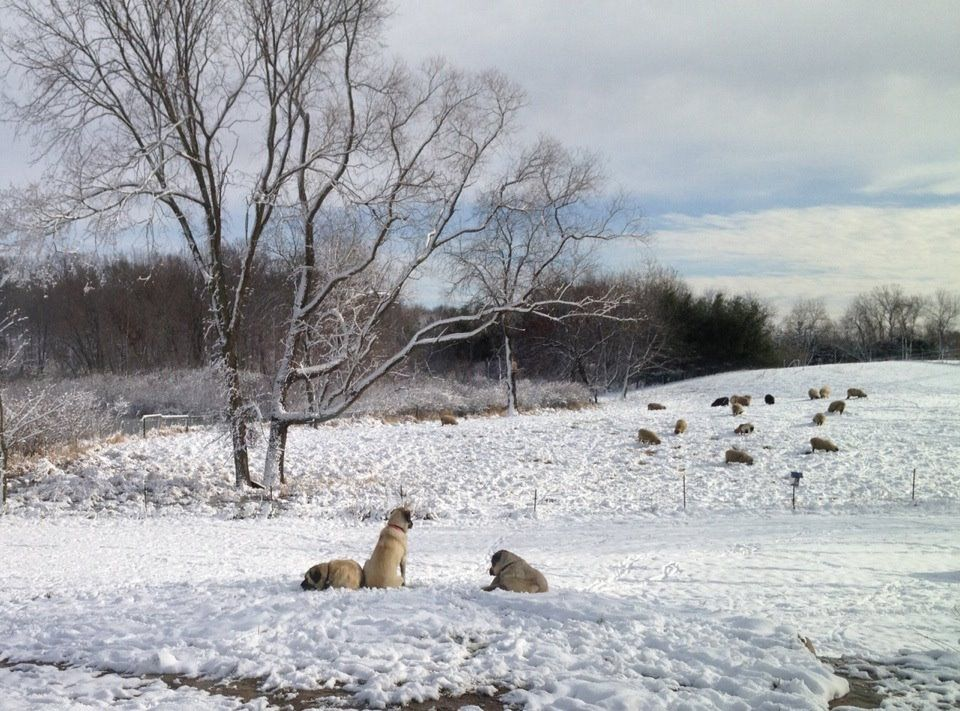 Winter Care for Working Farm Dogs