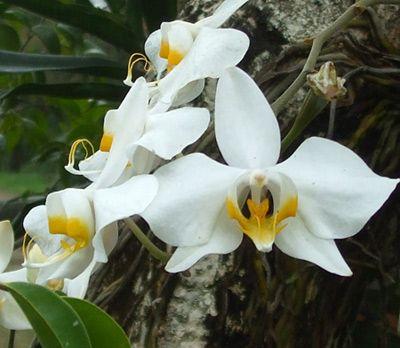 Anggrek Bulan Phalaenopsi Amabilis Orchids Moth Orchid Flowers