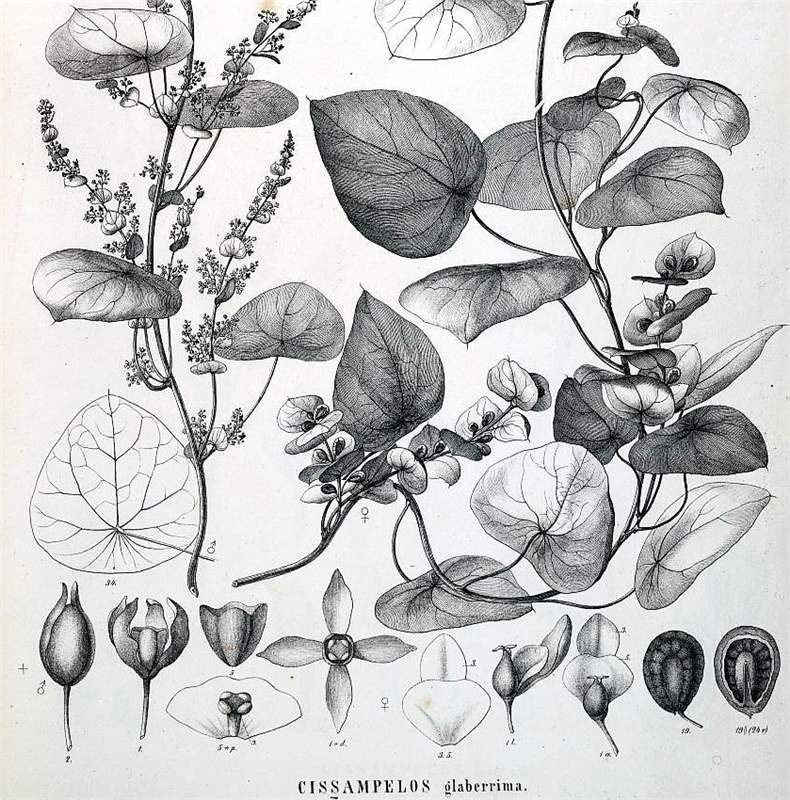 Chondrodendron Tomentosum Google Search Botanical Illustration Illustration Botanical
