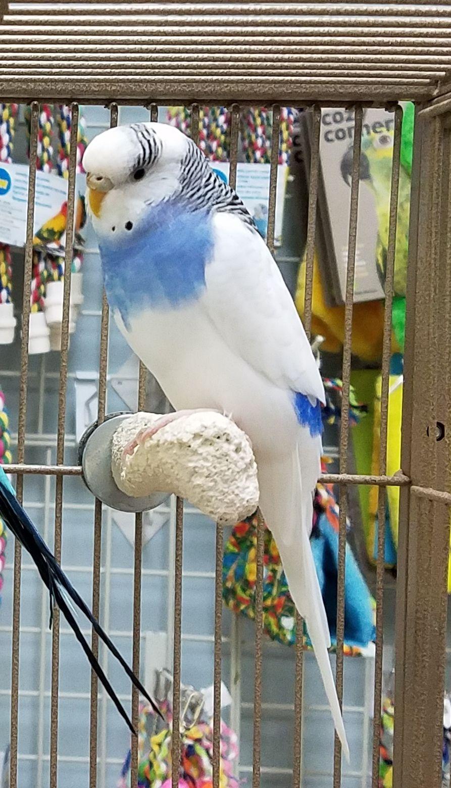 Adopt Snowy & Thunder on | pet bird | Budgies, Pet birds, Parakeet