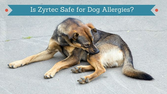Is Zyrtec Safe for Dogs Pet arthritis, Dog allergies