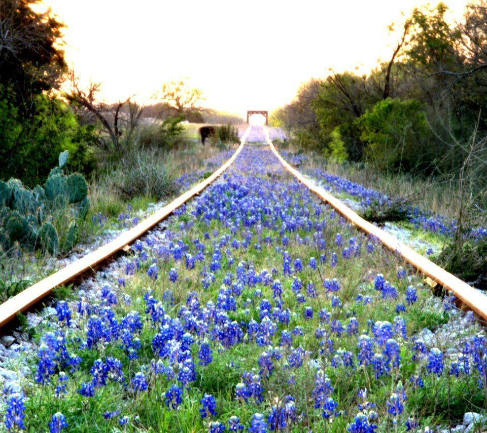 Texas Hill Country - bluebells