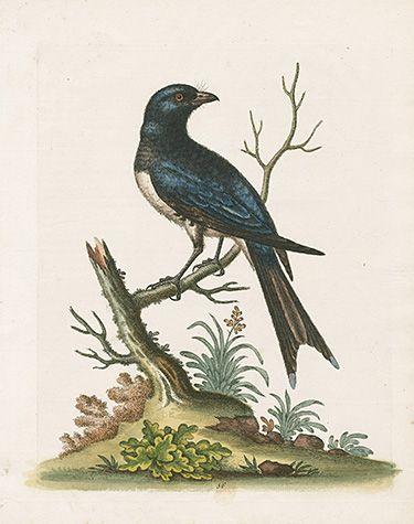 George Edwards Bird Prints 1745