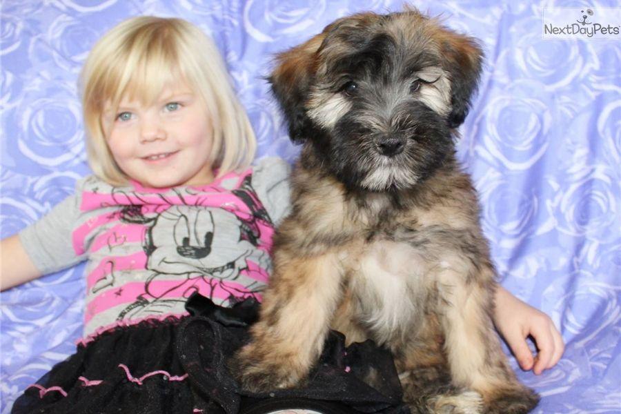 Candace Whoodle Puppy For Sale Near Spokane Coeur D Alene