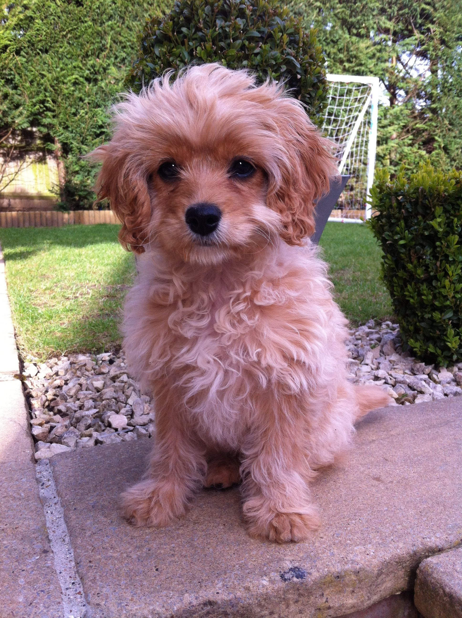 Honey 12 Week Old Female Cavachon Lives In Surrey With Lisa