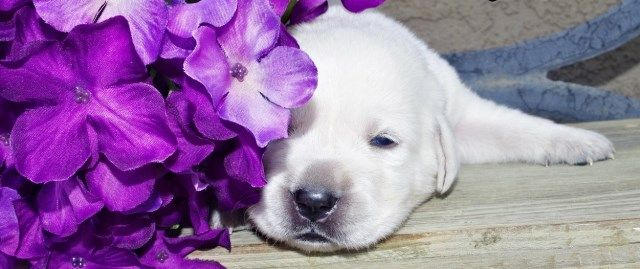 Ivory Yellow Babies Genetic Disease Tested Labrador Retriever Puppies Labrador Retriever Puppies For Sale