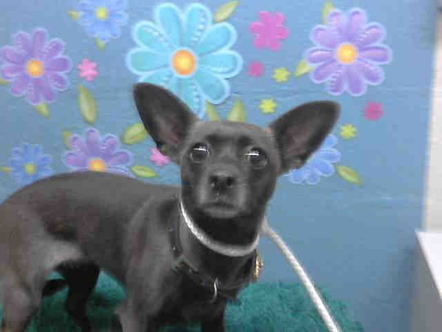 Urgent This Black Female Chihuahua Smooth Coated Mix About 2 Yrs