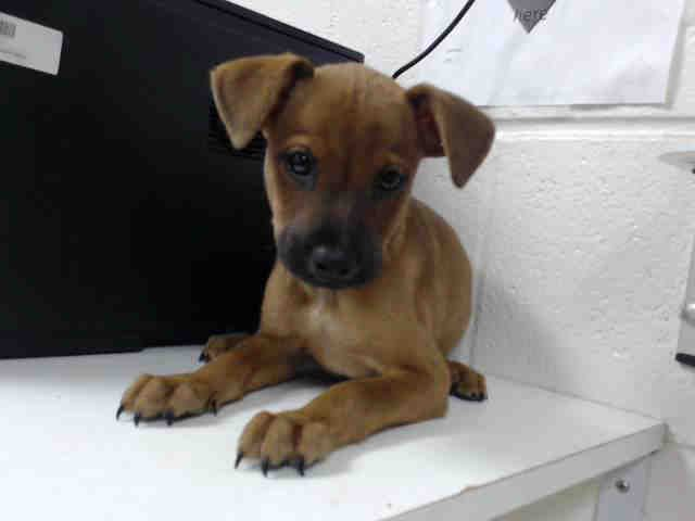 This DOG - ID#A465046 - Harris County Animal Shelter in Houston, Texas - 8 WEEK…
