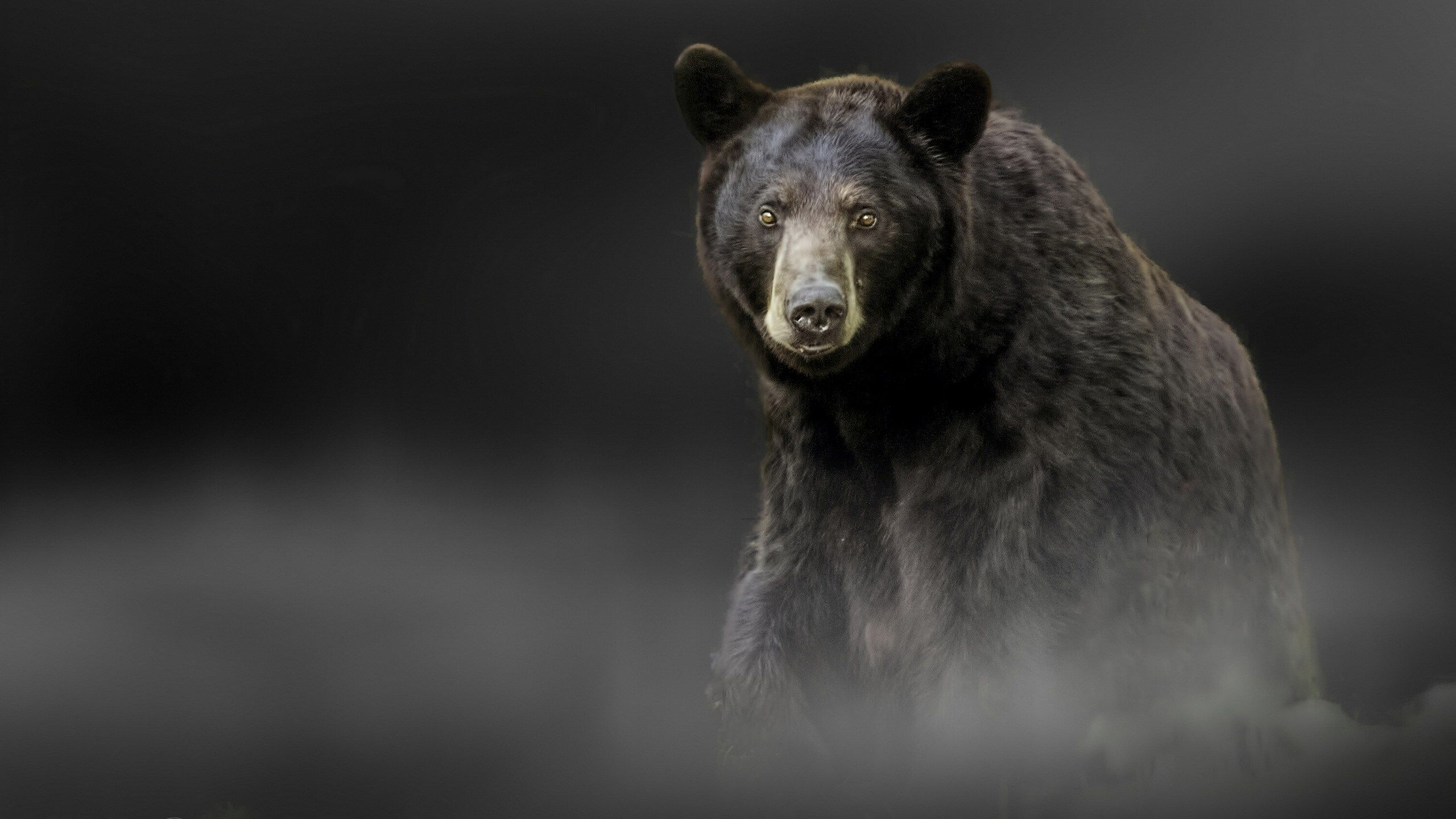 alone black bear hd wallpaper ololoshenka Pinterest