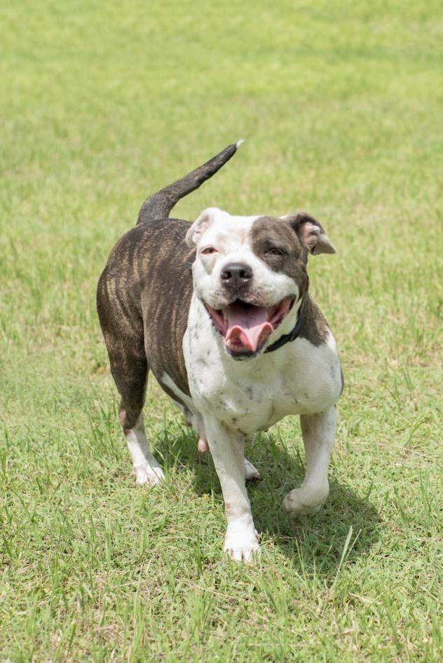 Adopt Coco On Pets Pet Adoption American Bulldog Mix