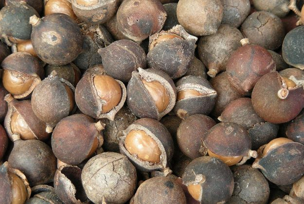 01e9b8c1b6389e33dfceef4a87aa3866 - How To Get Macadamia Nuts Out Of Their Shells