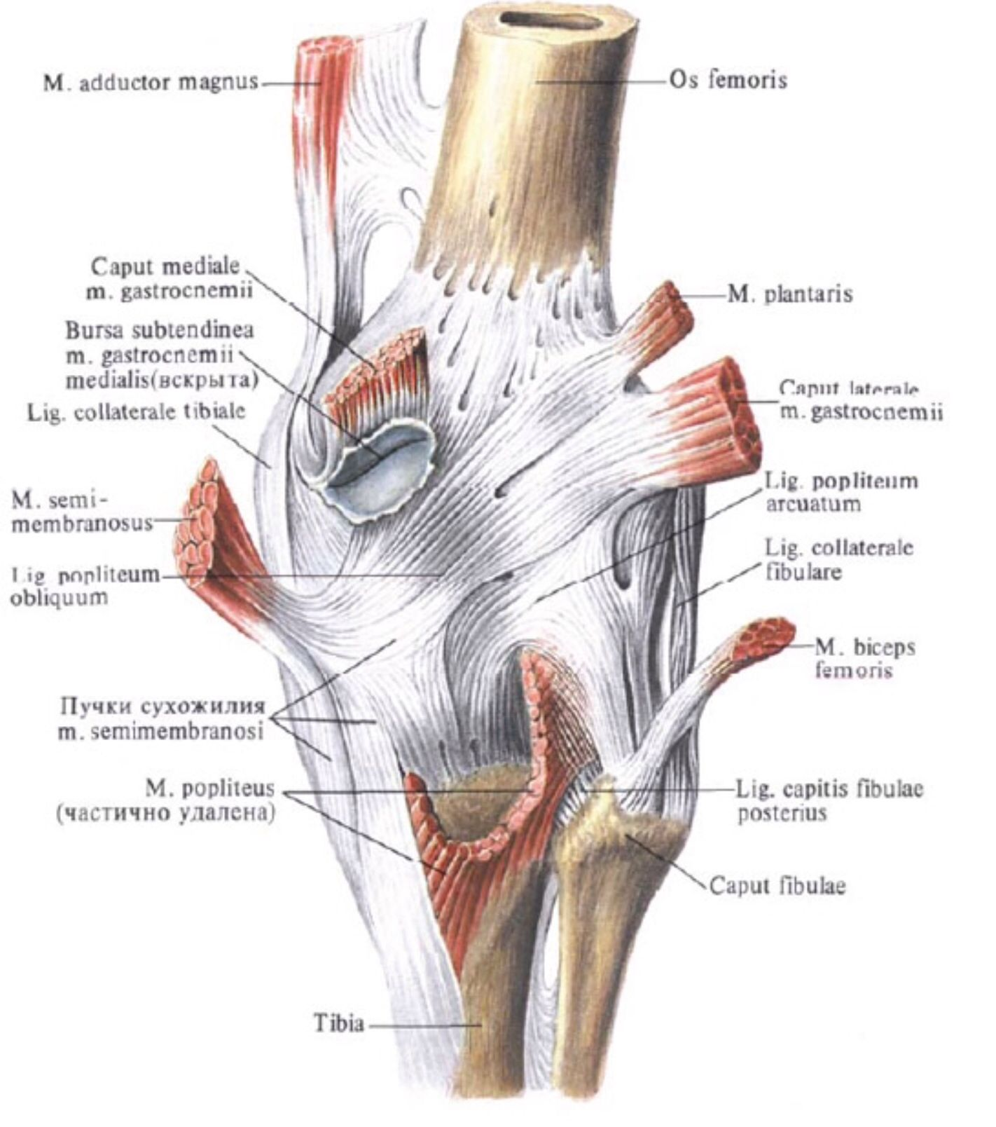 Posterior knee anatomy