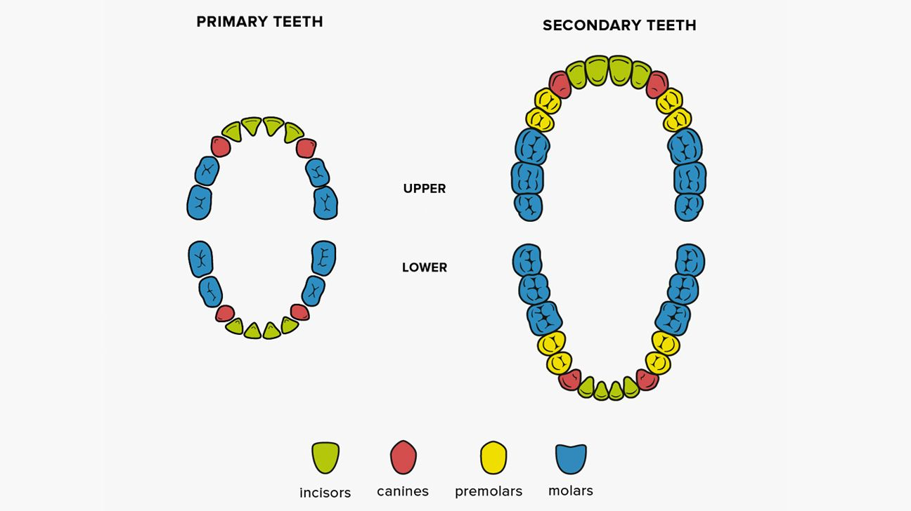 how many teeth should toddlers have