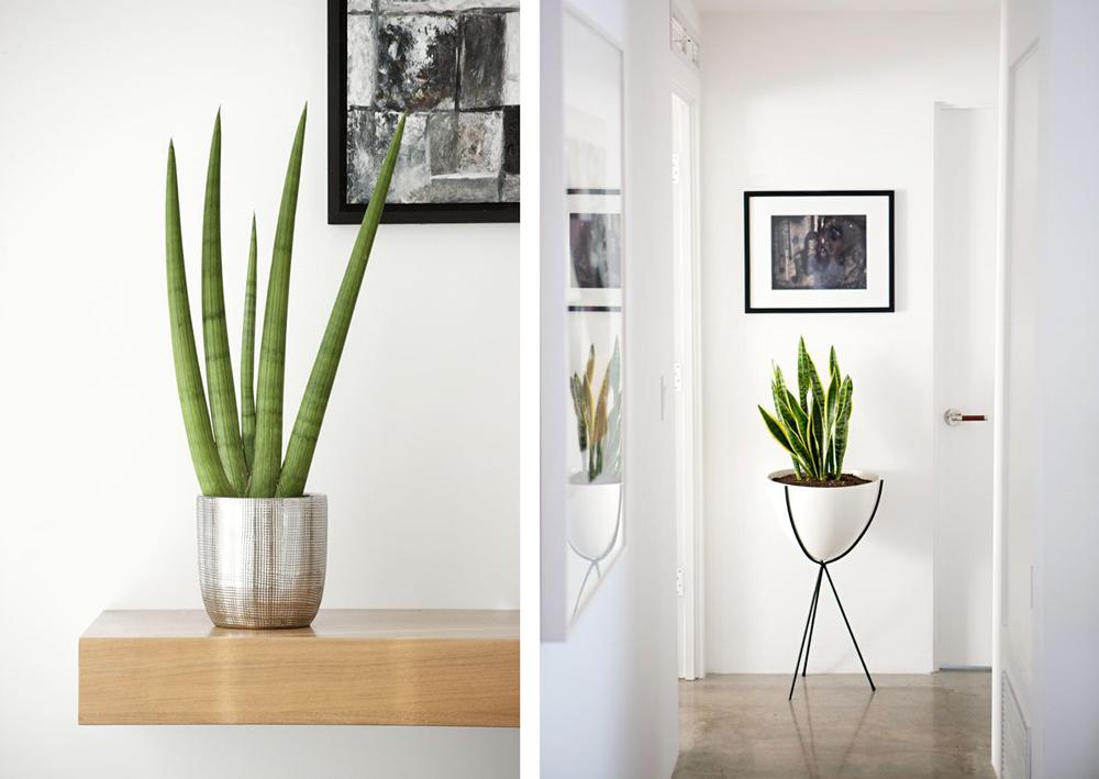 plante d 39 int rieur sansevieria cylindrica krak plants pinterest plants and house. Black Bedroom Furniture Sets. Home Design Ideas