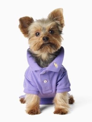 Ralph Lauren Classic Dog Polo And An Adorable Yorkie Yorkie Mommy
