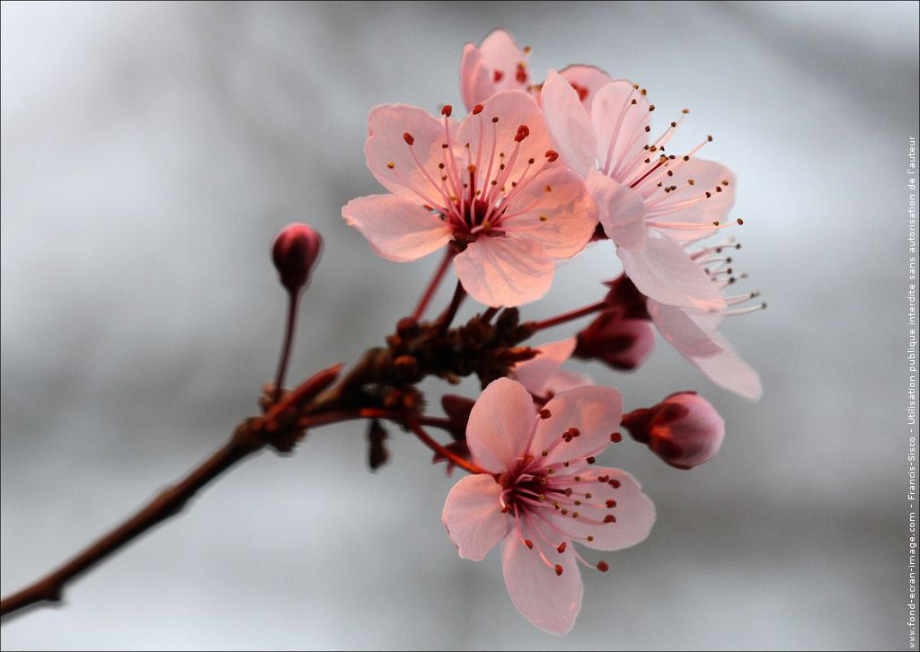 Fleur Cerisier Du Japon Fleurs Cerisiers Du Japon Img 0178