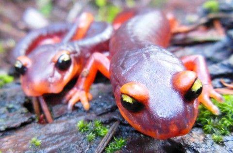 Toxic Fungus Threatens Salamanders