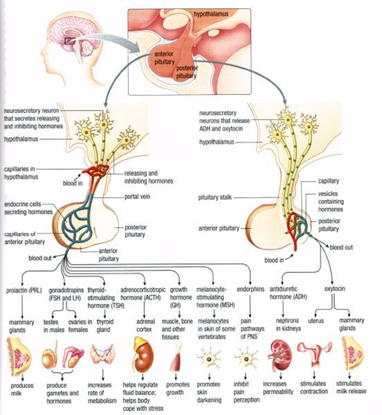 hypothalamus hormone chart - Google Search | MLT Stuff | Pinterest ...